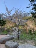 Kirschbaum ist von den alleinstehenden Bäumen voll lizenzfreie stockbilder