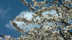 Kirschbaum mit Blumen in der Blütennahaufnahme stock footage