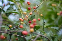 Kirschbaum nah oben mit fast roten Kirschen Stockbild