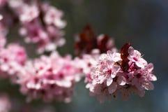 Kirschbaumblüte lizenzfreie stockbilder