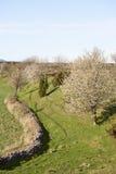 Kirschbaumblüte im Frühjahr Stockbilder