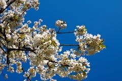 Kirschbaumblüten Lizenzfreie Stockfotografie