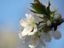 Kirschbaumblüten lizenzfreies stockbild