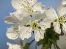 Kirschbaumblüten lizenzfreie stockfotos