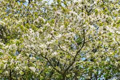 Kirschbaumblüten mit weißen Blumen an einem sonnigen Tag des Frühlinges stockbild