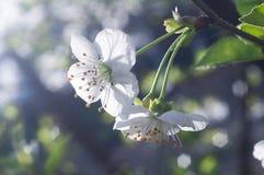 Kirschbaumniederlassung in der Blüte stockbilder