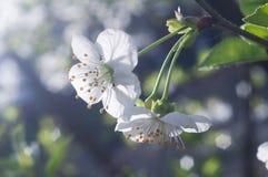 Kirschbaumniederlassung in der Blüte stockfotografie