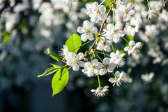 Kirschbaumniederlassung mit Blumen Lizenzfreie Stockbilder