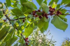 Kirschbaumniederlassung mit roten glänzenden reifen Kirschen im Sonnenschein Lizenzfreie Stockfotos