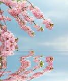 Kirschbaumniederlassungen und blauer Himmel, reflektierend im Wasser stockbilder