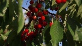 Kirschbeeren auf dem Baum stock video