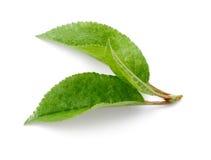 Kirschblätter lokalisiert auf Weiß Stockfoto
