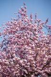 Kirschblühen Lizenzfreie Stockfotografie