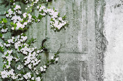 Kirschblüte auf grunge konkreter strukturierter Wand Stockfotografie