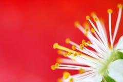 Kirschblüte auf Rot stockfoto