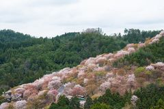 Kirschblüte auf Yoshinoyama, Frühlingslandschaft Naras, Japan stockbild