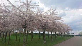 Kirschblüte-Bäume Lizenzfreie Stockfotos