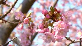 Kirschblüte-Bäume, die in den Wind - örtlich festgelegte Kamera beeinflussen stock video footage