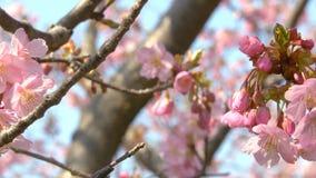 Kirschblüte-Bäume, die von rechts nach links in den Wind - Pan beeinflussen stock video