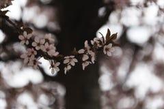Kirschblüte blüht hallo Schlüssel Lizenzfreies Stockfoto