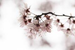 Kirschblüte blüht hallo Schlüssel Lizenzfreie Stockbilder
