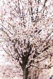 Kirschblüte blüht hallo Schlüssel Lizenzfreie Stockfotos