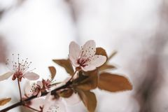 Kirschblüte blüht hallo Schlüssel Lizenzfreies Stockbild