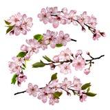 Kirschblüte blüht Hintergrund Lizenzfreies Stockbild