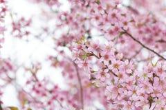 Kirschblüte blüht Hintergrund Stockbild
