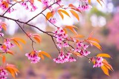 Kirschblüte-Blüte stockfotos