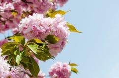 Kirschblüte-Blüte Vektor Abbildung