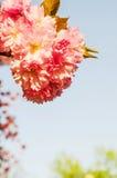Kirschblüte-Blüte Lizenzfreie Abbildung