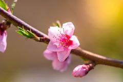 Kirschblüte-Blüte, Frühlingsblumen lizenzfreie stockfotografie
