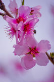 Kirschblüte-Blüten Stockfotos