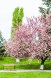 Kirschblüte-Blüten im Park Lizenzfreie Abbildung