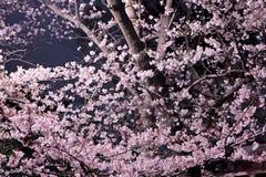 Kirschblüte-Blume nachts Stockbilder