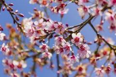 Kirschblüte-Blumen Lizenzfreie Stockfotos