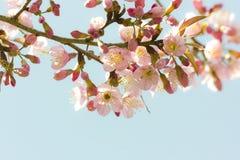 Kirschblüte-Blumen stockfotografie