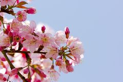 Kirschblüte-Blumen lizenzfreie stockbilder