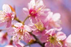 Kirschblüte-Blumen Stockbild