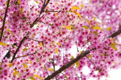 Kirschblüte-Blumen Stockfoto