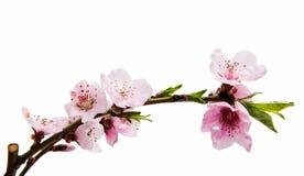 Kirschblüte-Blumen lokalisiert Lizenzfreie Stockfotos