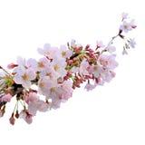 Kirschblüte-Blumenbaum der vollen Blüte lokalisiert mit Beschneidungspfad Lizenzfreies Stockbild