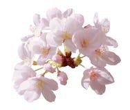 Kirschblüte-Blumenbaum der vollen Blüte lokalisiert mit Beschneidungspfad Stockfoto