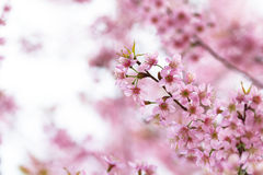 Kirschblüte-Blumenhintergrund Stockfotos