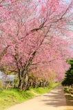 Kirschblüte-Blumentunnel in Thailand Lizenzfreies Stockfoto