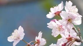 Kirschblüte Cherry Blossom in Taiwan Schöne rosa Blumen stock video