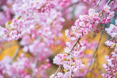 Kirschblüte in den Farben stockbild