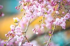 Kirschblüte in den Farben lizenzfreie stockbilder