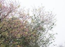 Kirschblüte in der Blütezeit mit dem dichten Nebel stockbild